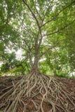 Radice dell'albero di banyan Fotografia Stock