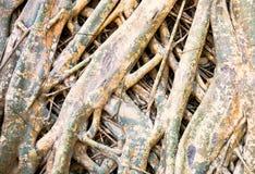 Radice dell'albero di fico delle indie orientali Immagine Stock Libera da Diritti