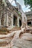 Radice dell'albero gigante sopra il tempio di Prohm di tum Fotografia Stock Libera da Diritti