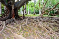 Radice dell'albero nel parco Fotografia Stock Libera da Diritti