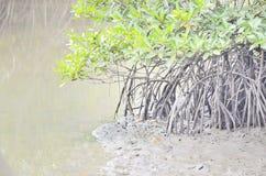 Radice della mangrovia Fotografie Stock