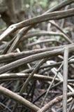 Radice della mangrovia Immagine Stock