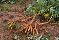 Radice della manioca Fotografia Stock Libera da Diritti