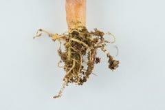 Radice della pianta Immagine Stock