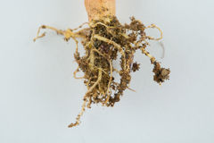 Radice della pianta Fotografie Stock