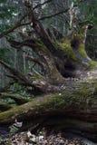 Radice della quercia caduta Immagini Stock Libere da Diritti