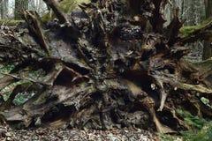 Radice della quercia da sotto Fotografia Stock Libera da Diritti