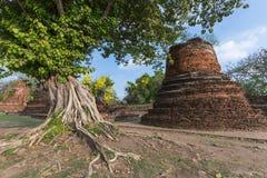 Radice della radice dell'albero in rovine del tempio di Ayutthaya Fotografia Stock Libera da Diritti