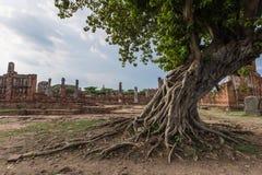 Radice della radice dell'albero in rovine del tempio di Ayutthaya Immagine Stock Libera da Diritti