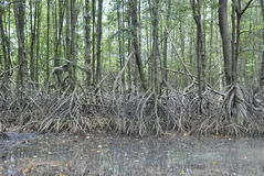 Radice dello Stilt degli alberi della mangrovia Fotografie Stock
