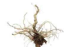 Radice di Brown della pianta Fotografie Stock