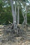 Radice di Pinetree Fotografia Stock
