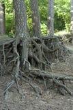 Radice di Pinetree fotografia stock libera da diritti