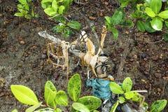 Radice di plastica dell'albero delle mangrovie di inquinamento Immagine Stock