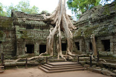 Radice in un tempiale in Angkor Immagine Stock Libera da Diritti