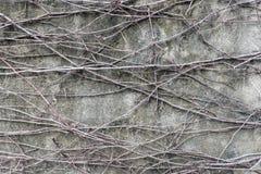 Radicelle sur le fond de mur en béton Photo libre de droits