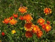 Radichiella Orange. Flower (Crepis Aurea) A typical alpine flower Royalty Free Stock Photos