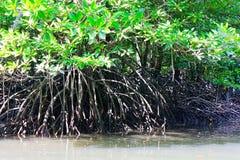 Radici aeree dell'albero della mangrovia Fotografia Stock