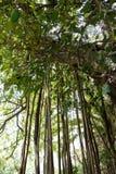 Radici aeree giganti dell'albero di banyan Fotografie Stock