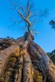 Radici appassite enormi dell'albero di banyan che coltivano fuori la rovina dei tum Prohm, complesso di Angkor, Siem Reap, Cambog fotografie stock libere da diritti