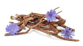 Radici asciutte della cicoria con i fiori isolati su bianco Fotografia Stock Libera da Diritti