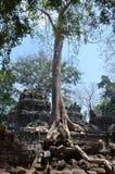 Radici che invadono il tempiale dell'AT Prohm. Angkor. fotografia stock libera da diritti