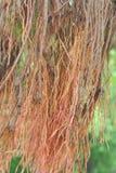 Radici d'attaccatura dell'albero di banyan Fotografie Stock Libere da Diritti