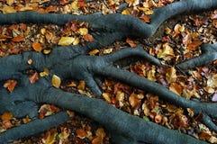Radici degli alberi Fotografie Stock Libere da Diritti