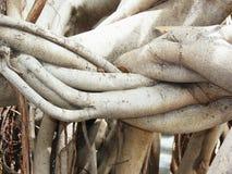 Radici degli alberi di banyan Fotografia Stock