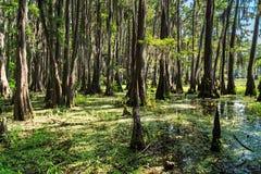 Radici degli alberi di Cypress nel lago Caddo, il Texas fotografia stock libera da diritti