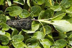 Radici del broccolo Fotografie Stock