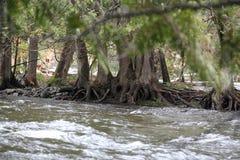 Radici del fiume della foresta di Maine Immagini Stock