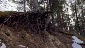 Radici del pino nella foresta video d archivio