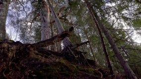 Radici del pino nella foresta stock footage