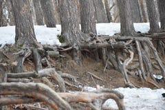 radici del pino sulla riva fotografia stock libera da diritti