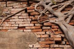 Radici del tronco del ficus che coprono una parete fotografie stock libere da diritti