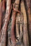 Radici del tronco di albero del banyan Fotografie Stock Libere da Diritti