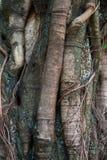 Radici del tronco di albero del banyan Fotografia Stock Libera da Diritti