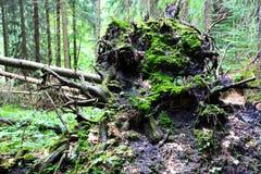 Radici dell'albero caduto Immagine Stock