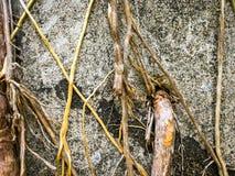 Radici dell'albero che passano attraverso il foro concreto fotografia stock