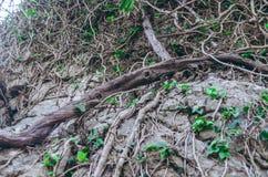 Radici dell'albero che vanno su su una roccia fotografia stock