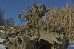 Radici dell'albero del ceppo Fotografia Stock