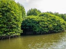 Radici dell'albero della mangrovia in acque lente Lubuk Kertang, la Sumatra Settentrionale, Indonesia Fotografia Stock