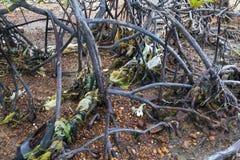 Radici dell'albero della mangrovia di inquinamento Fotografia Stock
