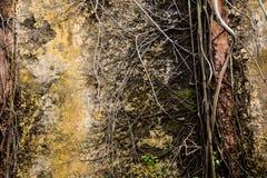 Radici dell'albero di banyan coperte sulla parete di danno fotografia stock libera da diritti