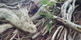Radici dell'albero di banyan e superficie strutturata carta da parati del fondo della natura, Fotografia Stock Libera da Diritti