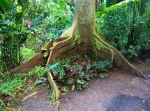 Radici dell'albero di fico della baia Fotografia Stock Libera da Diritti
