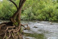 Radici dell'albero e rapide del fiume Fotografie Stock