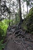 Radici dell'albero in foresta Fotografie Stock