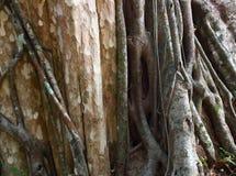 Radici dell'albero gigante immagine stock